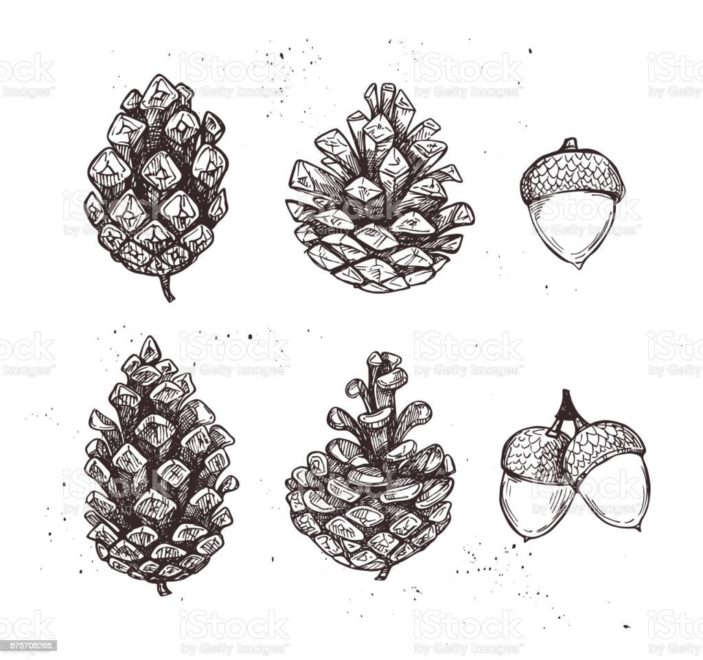 Hand drawn vector illustrations. Collection of pine cones and acorns. Forest vintage elements. Perfect for invitations, greeting cards, posters, prints royalty-free hand drawn vector illustrations collection of pine cones and acorns forest vintage elements perfect for invitations greeting cards posters prints stock vector art & more images of acorn