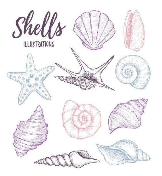 hand drawn vector illustrations - collection of seashells.  marine set. perfect for invitations, greeting cards, posters, prints, banners, flyers etc - seashell stock illustrations, clip art, cartoons, & icons