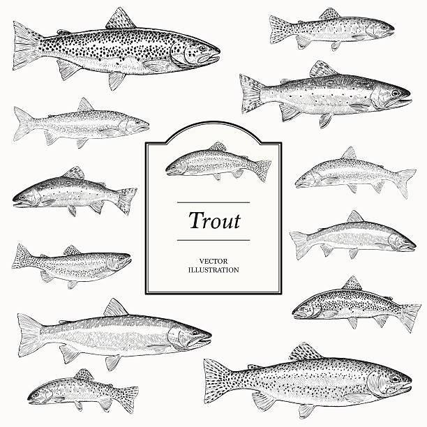 hand drawn vector illustrations of trout vector art illustration