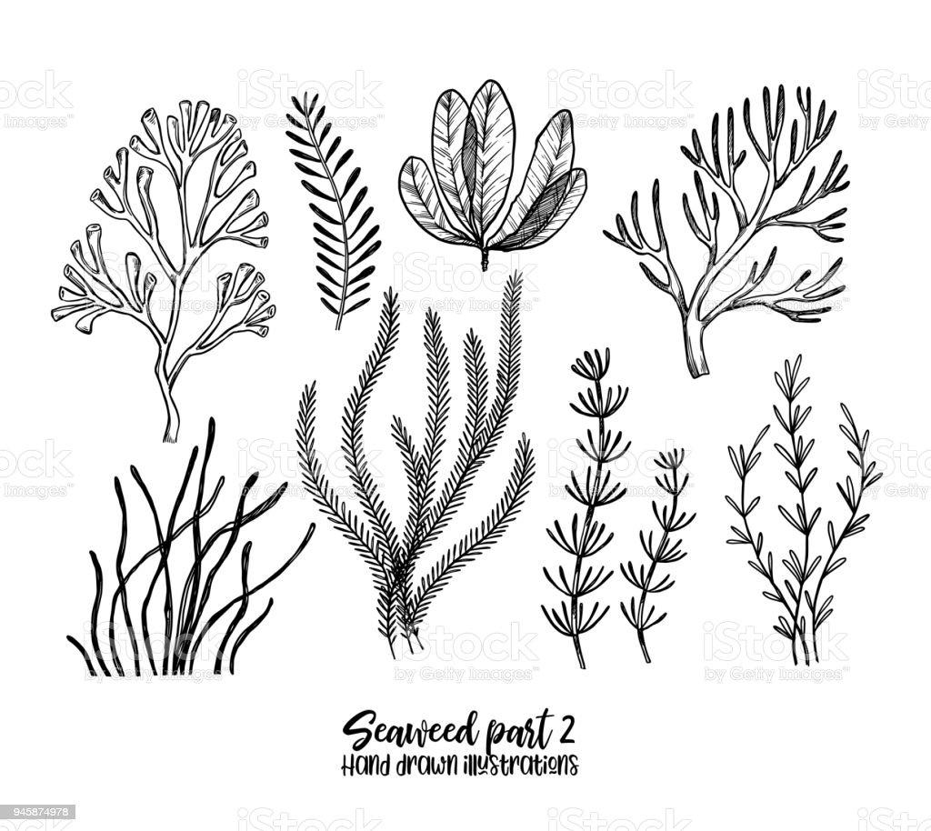 Mano dibuja ilustraciones vectoriales. Algas marinas. Hierbas plantas en estilo boceto. Ideal para etiquetas, invitaciones, tarjetas, folletos, impresiones etcetera - ilustración de arte vectorial