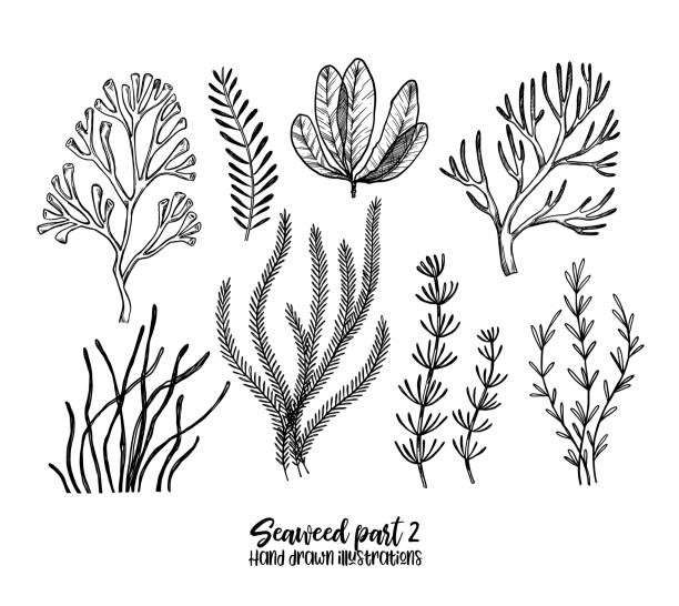 Hand drawn vector illustrations. Seaweed. Herbal plants in sketch style. Perfect for labels, invitations, cards, leaflets, prints etc vector art illustration