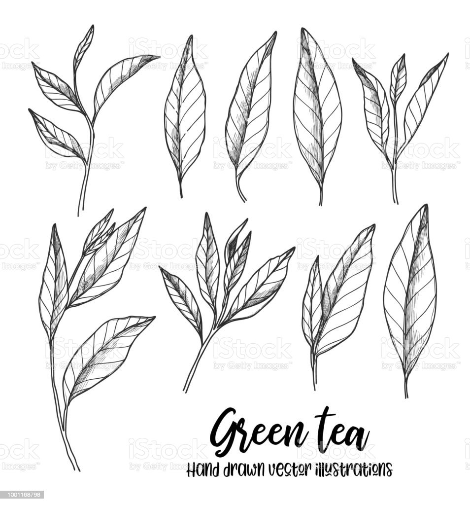 Hand Drawn Vector Illustrations Set Of Green Tea Leaves Herbal Tea Illustration In Sketch Style Perfect For Menu Leaflets Prints Etc Stock Illustration Download Image Now Istock