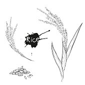 Hand drawn vector monochrome illustration of rice plant, grain. sketch. Vector eps 8.