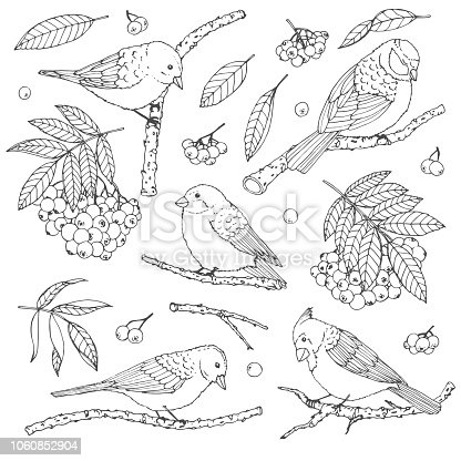 Hand drawn vector set of birds, branches, leaves and rowanberry contours isolated on white background. Winter decoration line art in sketch style for coloring books.