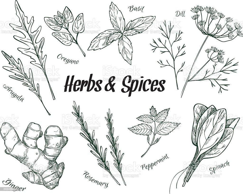 Mão desenhada ilustração vintage de ervas e especiarias. Vetor - ilustração de arte em vetor