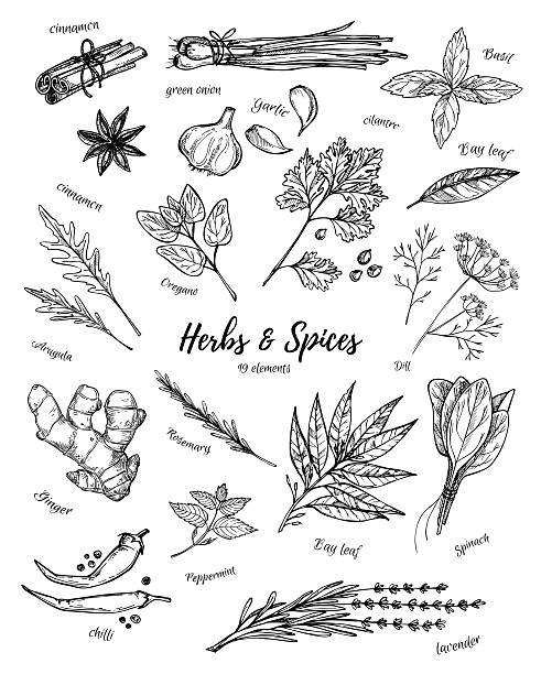 Hand drawn vintage illustration - herbs and spices. Vector Hand drawn vintage illustration - herbs and spices. Vector garlic stock illustrations
