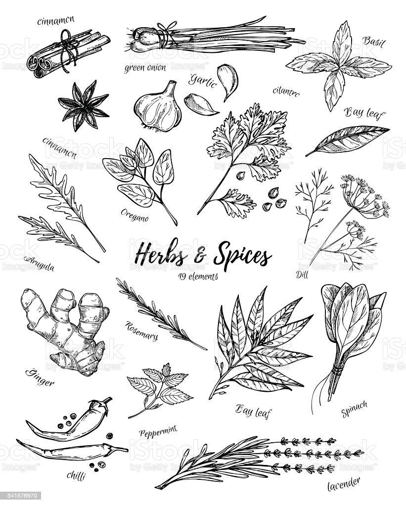 Ilustración vintage dibujados a mano-hierbas y especias. Vector de - ilustración de arte vectorial