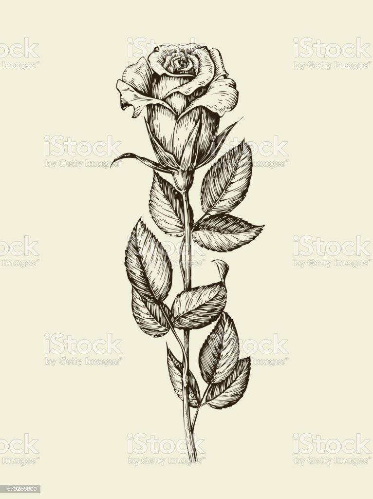 Hand Drawn Vintage Rose Vector Illustration Stock Vector Art More