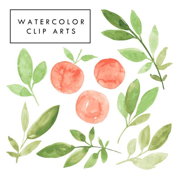 handgezeichnete aquarell illustration grüne zweige mit blättern und orangefarbenen pfirsiche. - peach stock-grafiken, -clipart, -cartoons und -symbole