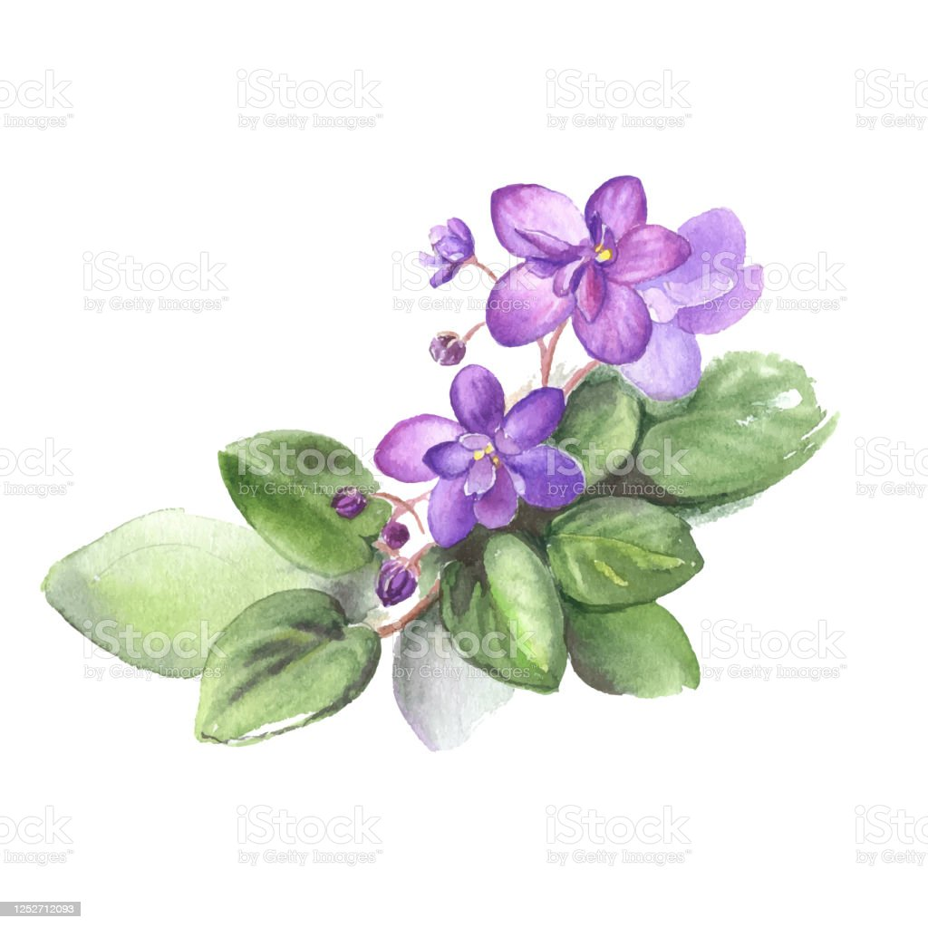 Hand Drawn Watercolor Of African Violet Flowers Vector Illustration For Your Design Stock Illustration Download Image Now Istock