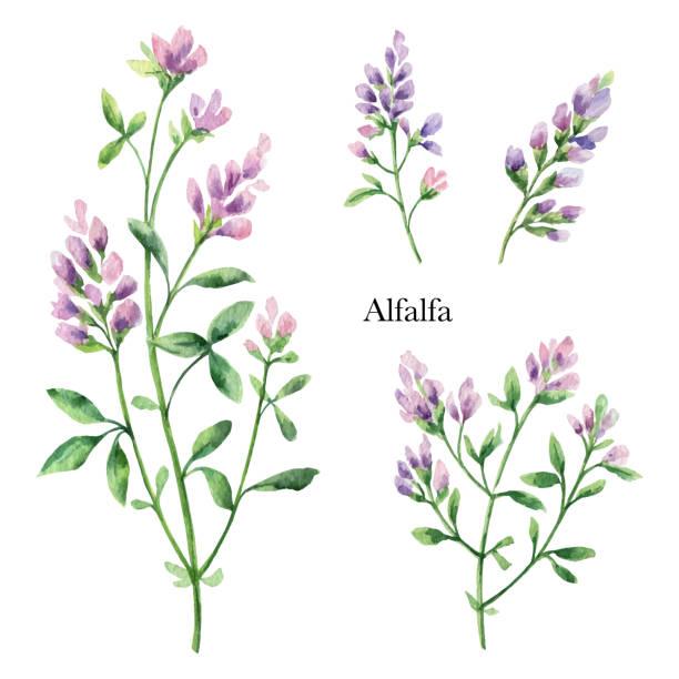 illustrazioni stock, clip art, cartoni animati e icone di tendenza di hand drawn watercolor vector botanical illustration of alfalfa. - erba medica