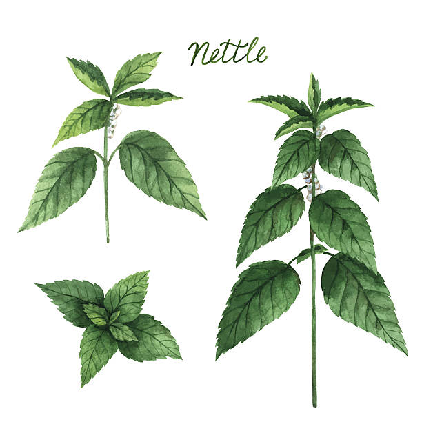 Hand drawn watercolor vector botanical illustration of nettle. Hand drawn watercolor vector botanical illustration of nettle. Healing Herbs for design Natural Cosmetics, aromatherapy, medicine, health products and homeopathy. stinging nettle stock illustrations