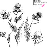 Hand drawn wild hay flower. Milk marian thistle. Medical herb. Vintage engraved art. Botanical illustration. Good for cosmetics, medicine, treating, aromatherapy, nursing, package design field