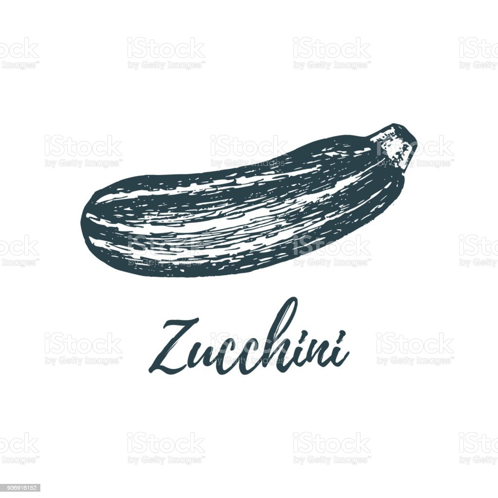 Hand drawn zucchini. Vector illustration of vegetarian food. Sketch of farm market product. vector art illustration