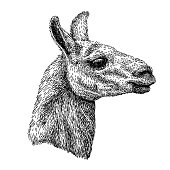 realistic sketch of lama Alpaca, black and white drawing, isolated on white. vector illustration.