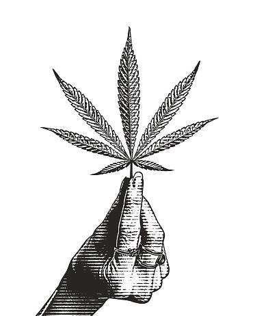 Hand holding hemp leaf