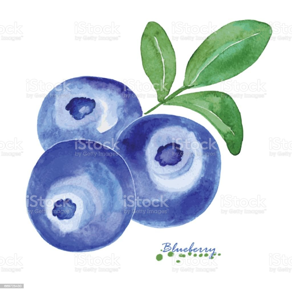 Hand painted watercolor blueberries with leaves vector art illustration
