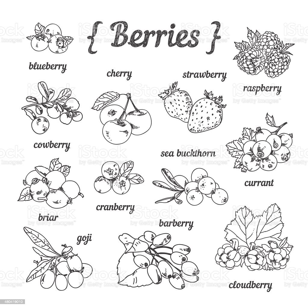 Hand sketched berries: strawberry, cherry, blueberry, goji, raspberry, cloudberry, barberry vector art illustration