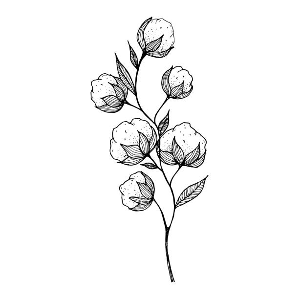 hand-drawn blooming cotton flowers. Sketch Drawn in black pen. Isolated on a white background. Trace to vector. Black and white design. Monochrome vintage vector illustration hand-drawn blooming cotton flowers. Sketch Drawn in black pen. Isolated on a white background. Trace to vector. Black and white design. Monochrome vintage vector illustration cotton stock illustrations