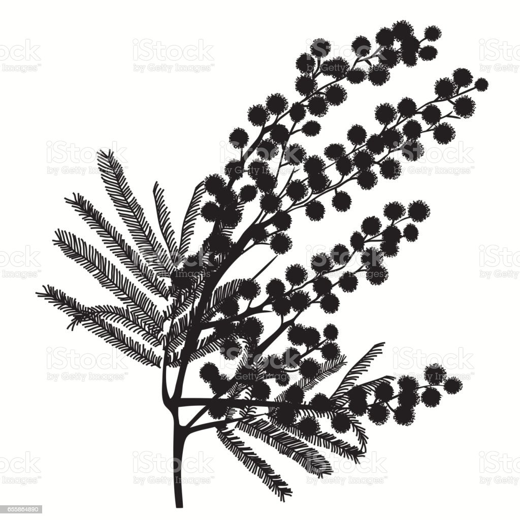 Hand-drawn branch of mimosa. Black silhouette on white background vector art illustration