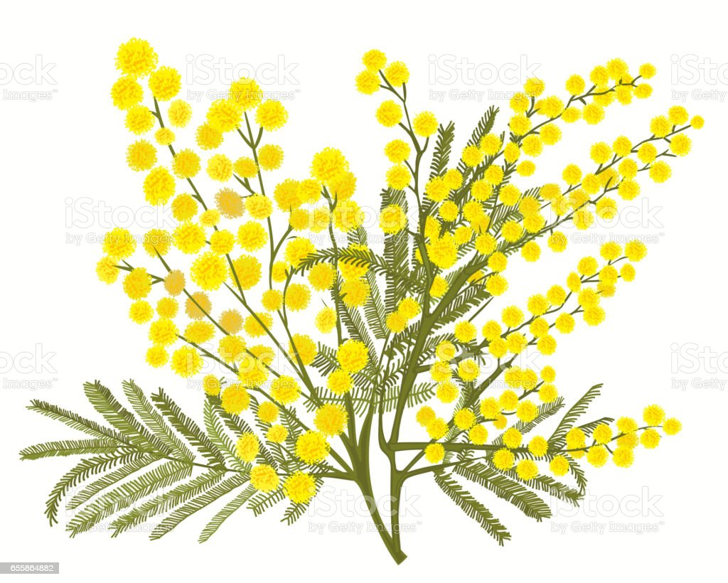 Hand-drawn branch of mimosa isolated on white background vector art illustration