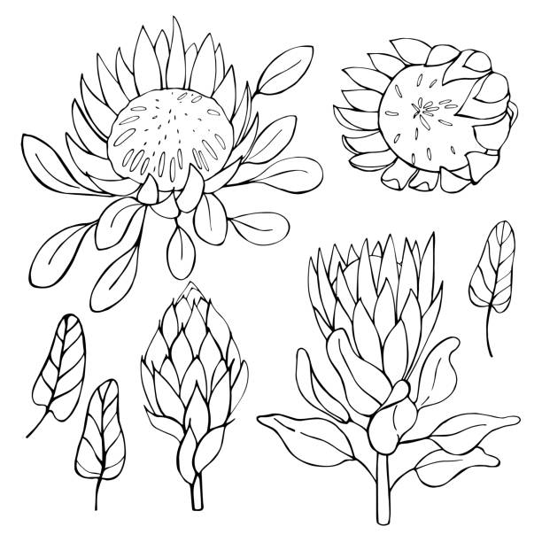 Hand-drawn flowers protea.  Vector illustration. Hand-drawn flowers protea.  Vector sketch illustration. south africa stock illustrations