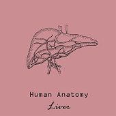 Handdrawn Human Liver