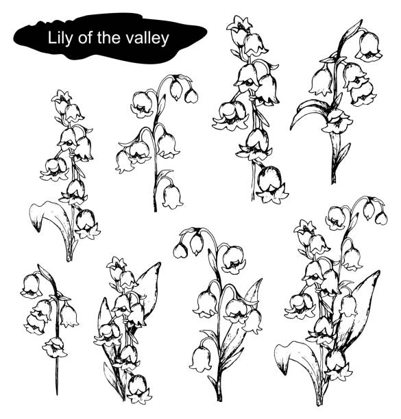 hand-drawn set with Lily of the valley flowers, primroses flowers. realistic doodling in black, white. Botanical elements for decoration, decor, presentation, Wallpaper. Spring set with Lily of the valley flowers. hand-drawn realistic doodling. Botanical vector illustration isolated on white background. flowers, primroses, monochrome color. lily of the valley stock illustrations