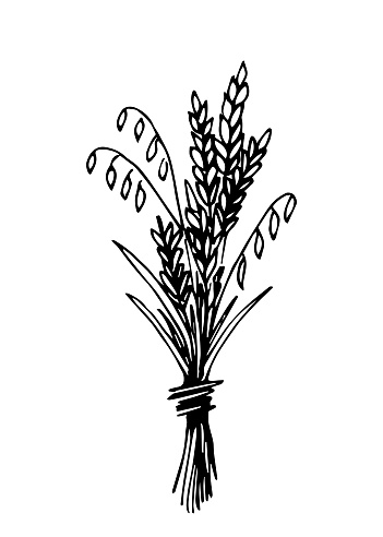 Hand-drawn simple vector drawing in black outline. A bunch of ears, grain crops. Autumn bouquet of spikelets. Seasonal harvest.