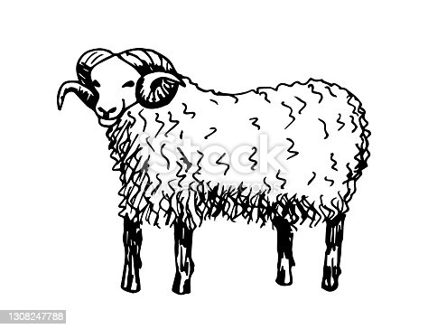 istock Hand-drawn vector drawing in black outline in doodle style. Full-length adult ram with horns. Farm animals, ranches, livestock. 1308247788
