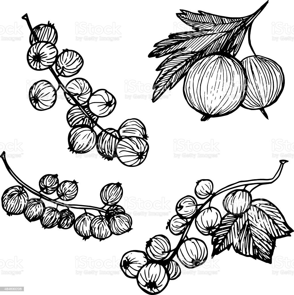 Hand-drawn vector illustration. Collection of currant and gooseberry vector art illustration