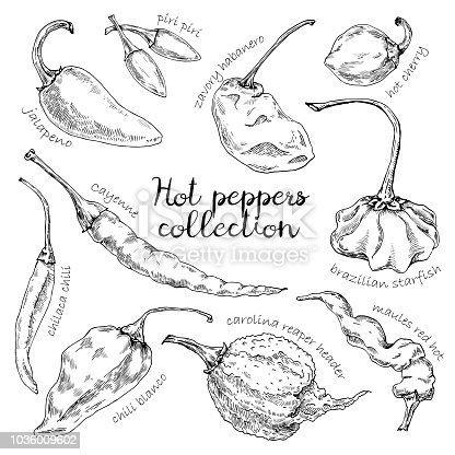 Hand-drawn vector illustration of peppers. Chili blanco, jalapeno, carolina reaper header, brazilian starfish, chilaca chili, piri piri , zavory habanero, cayenne, maules red hot and hot cherry pepper isolated on the white background.