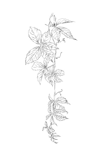 Hanging Virginia Creeper Vine Pen and Ink Drawing. Vector EPS10 Illustration
