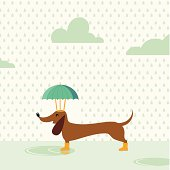 Dachshund walking in rainy day with umbrella