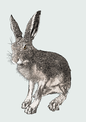 Hare Seated