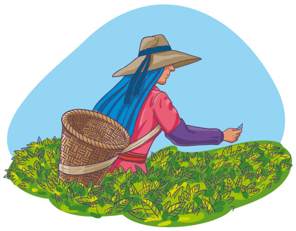 Harvest of tea leaves Vector Illustration of a woman making the harvest of tea leaves towards the end of the monsoon season picking harvesting stock illustrations