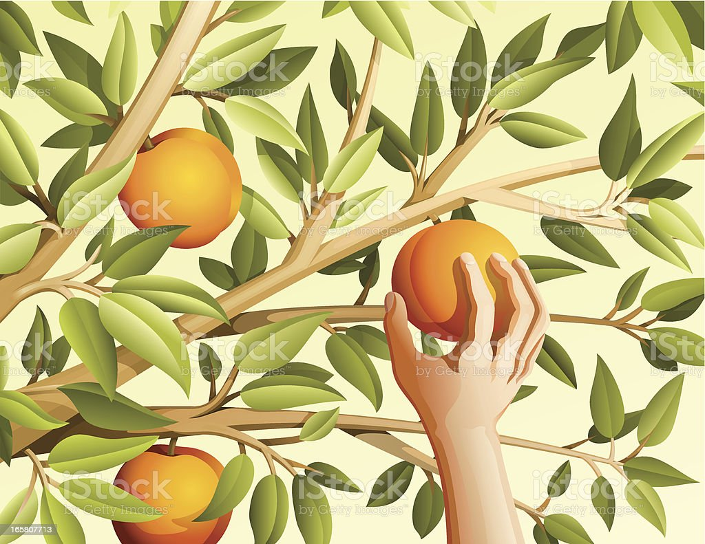 Harvest peaches vector art illustration