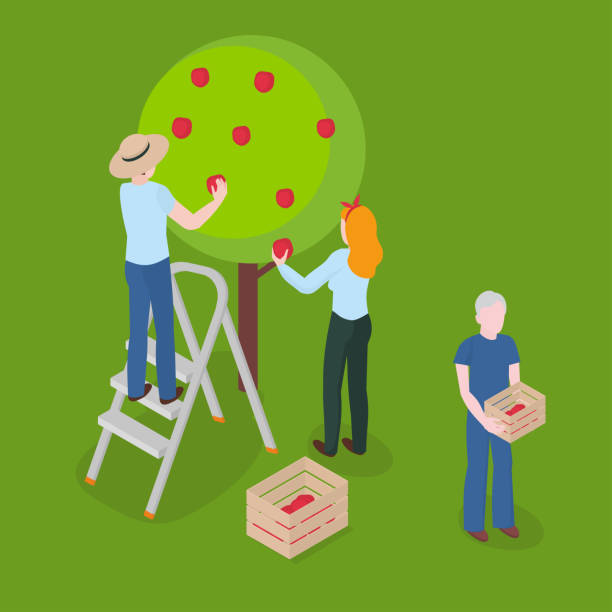 ilustrações de stock, clip art, desenhos animados e ícones de harvesting apples. farming, gardening and agriculture - picking fruit