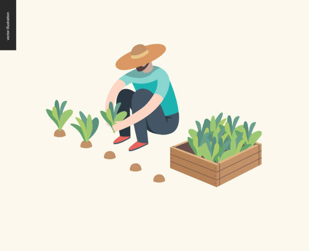 Harvesting people, fall Harvesting people, fall -flat vector concept illustration of a man wearing straw hat sitting on the ground in the squatting position gathering in ripe salad to the wooden box. Reaping the crop concept farmer stock illustrations