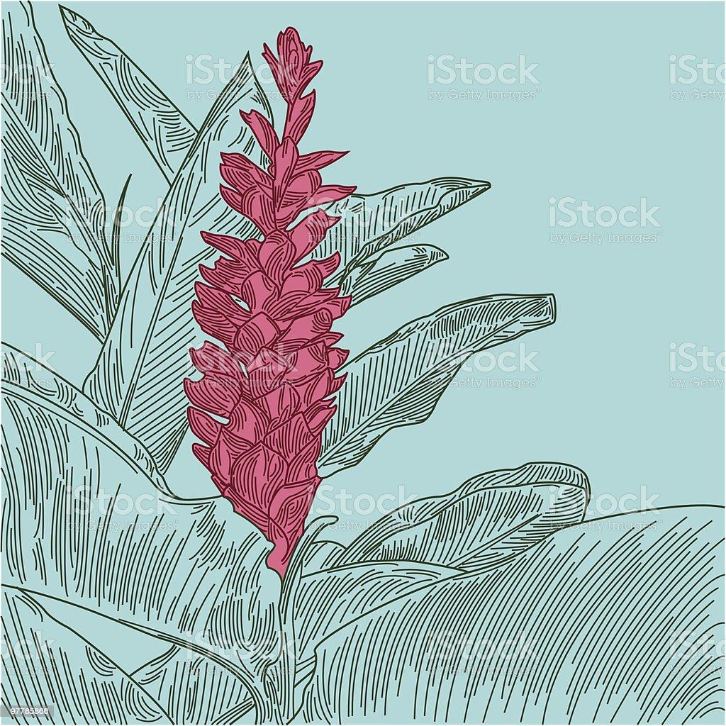 Hawaiian Red Ginger vector art illustration