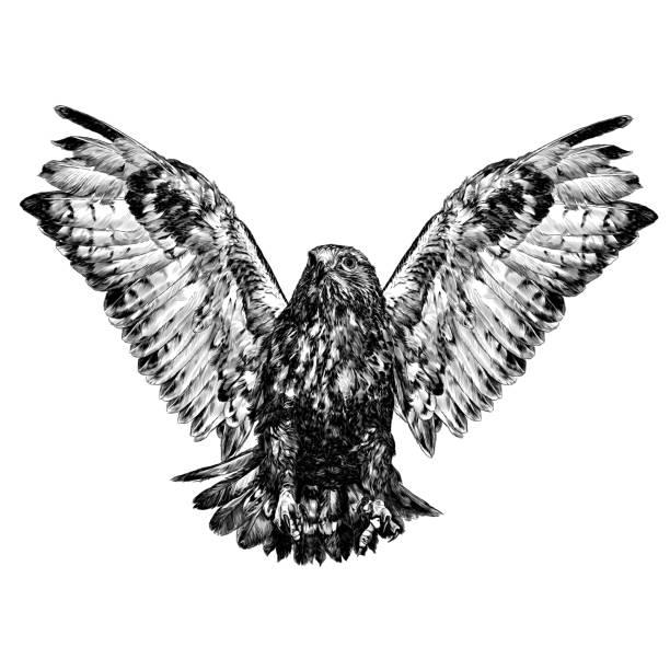 hawk in flight with spread wings and clawed paws in front – artystyczna grafika wektorowa