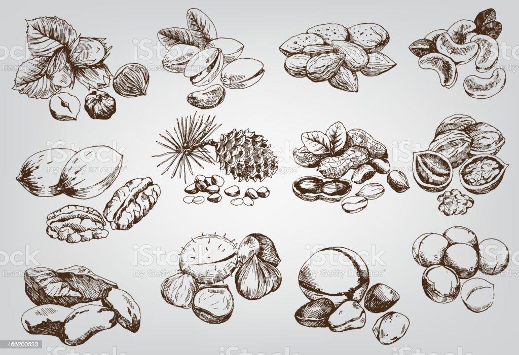 hazelnuts vector art illustration