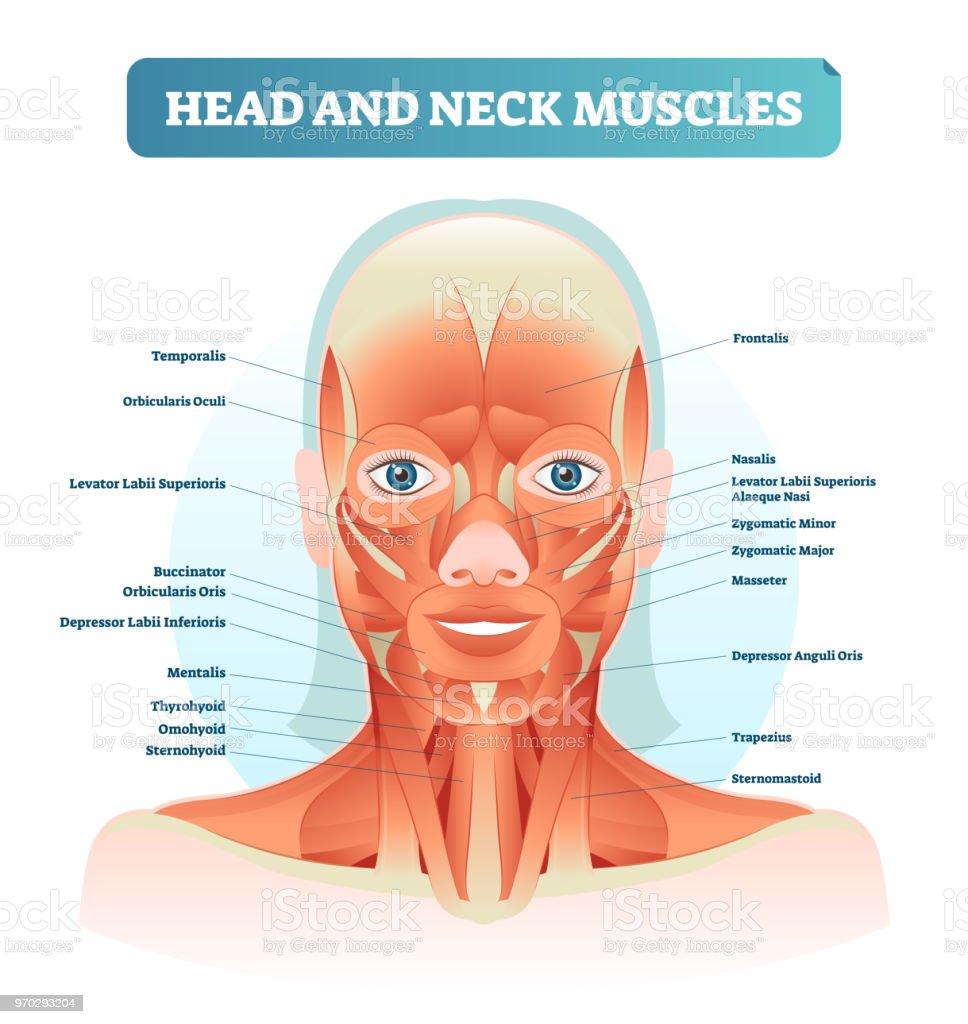 Diagram Of The Facial Muscles Custom Wiring Diagram