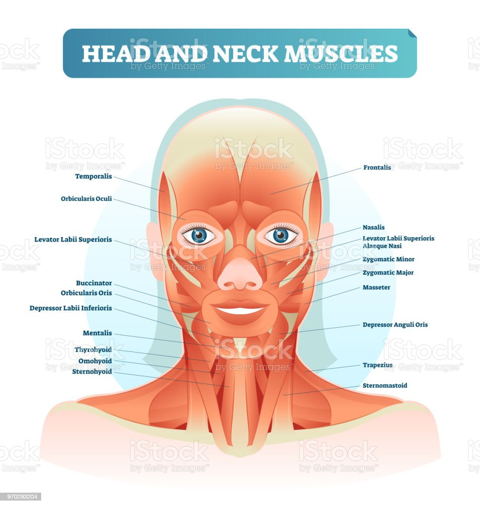 Head and neck muscles labeled anatomical diagram, facial vector illustration with female face, health care educational information poster. vector art illustration