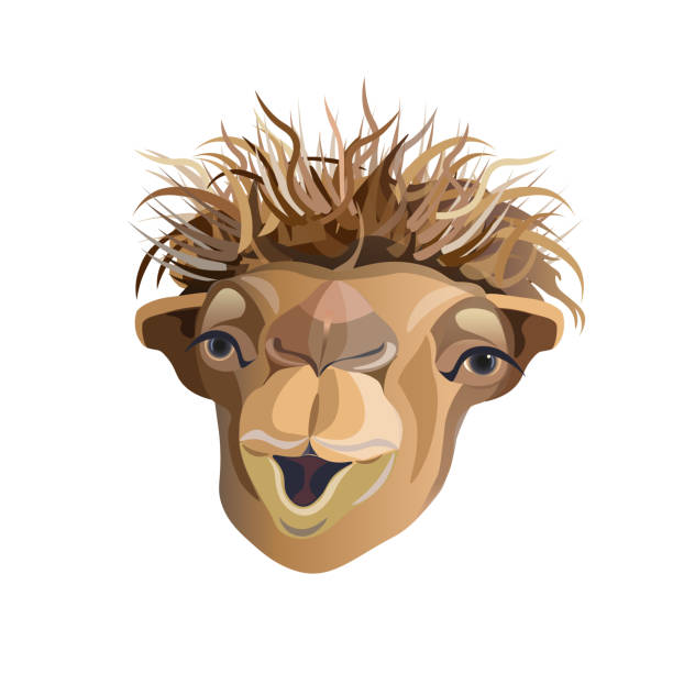Best Cartoon Of The Funny Camel Face Illustrations, Royalty