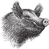 Vector drawing of the snout of the wild swine.