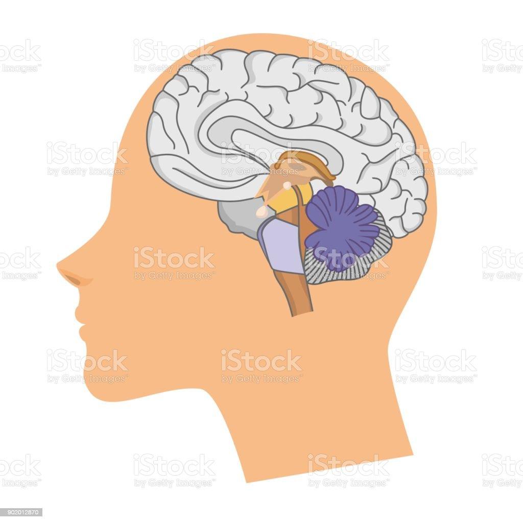 Kopf Einer Frau Mit Einem Gehirn Stock Vektor Art und mehr Bilder ...