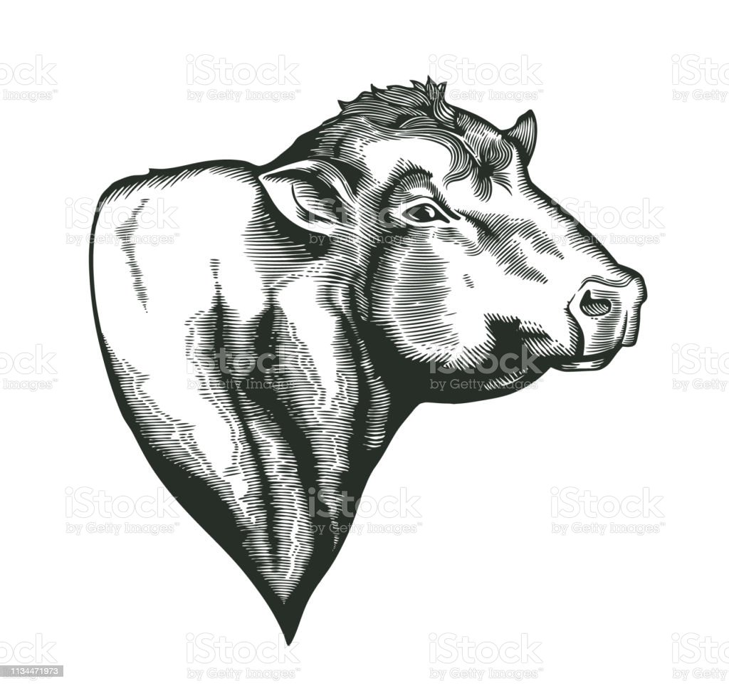 Head of bull of dangus breed drawn in vintage woodcut style. Farm animal isolated on white background. Vector illustration for agricultural market identity, products logo, advertisement. vector art illustration