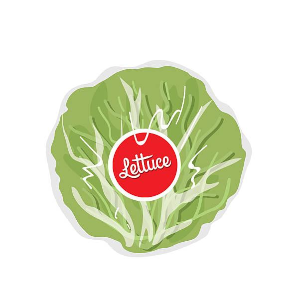 Best Iceberg Lettuce Illustrations Royalty Free Vector