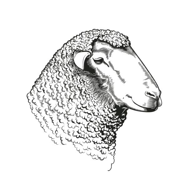 Head of ram of dohne merino breed drawn in vintage woodcut style. Farm animal isolated on white background. Vector illustration for agricultural market identity, woolen products logo, advertisement. Head of ram of dohne merino breed drawn in vintage woodcut style. Farm animal isolated on white background. Vector illustration for agricultural market identity, woolen products logo, advertisement. merino sheep stock illustrations